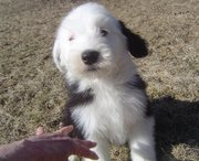 BVA Clear Eye Certificate Old English Sheepdog Puppies for Sale